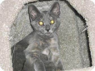 Domestic Shorthair Kitten for adoption in Farmington Hills, Michigan - Minnesota