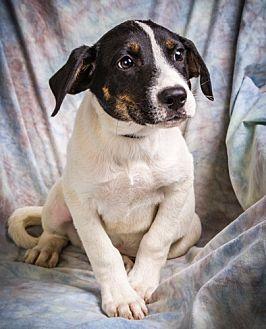 Treeing Walker Coonhound Mix Puppy for adoption in Anna, Illinois - KADE