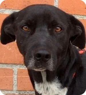 Labrador Retriever/Pointer Mix Dog for adoption in Los Angeles, California - HOMER (video)