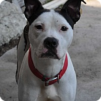 Boxer/American Staffordshire Terrier Mix Dog for adoption in Hardeeville, South Carolina - Mylo