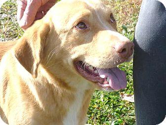 Labrador Retriever Mix Dog for adoption in Zanesville, Ohio - # 403-12 @ Animal Shelter