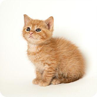 Domestic Shorthair Kitten for adoption in Rockaway, New Jersey - Punkin