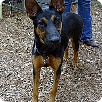German Shepherd Dog/Doberman Pinscher Mix Dog for adoption in SAN ANTONIO, Texas - DORA / GUINNESS