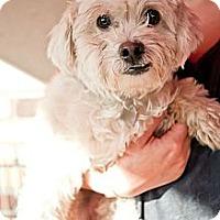 Adopt A Pet :: Bradley - North Hollywood, CA
