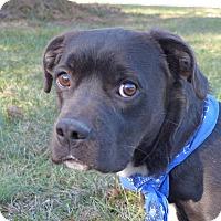 Adopt A Pet :: Weston - Mocksville, NC