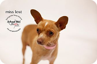 Miniature Pinscher/Chihuahua Mix Dog for adoption in Aqua Dulce, California - Miss Lost
