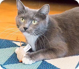 Russian Blue Cat for adoption in Chicago, Illinois - Cam