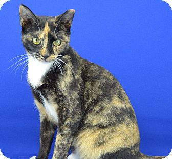 Calico Cat for adoption in LAFAYETTE, Louisiana - HELLO KITTY