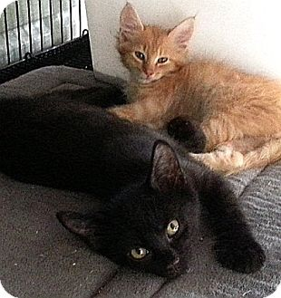 Domestic Shorthair Kitten for adoption in Galloway, New Jersey - Coal