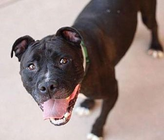 Pit Bull Terrier Mix Dog for adoption in Woodland, California - Marco