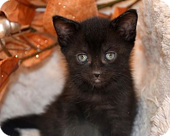 Domestic Shorthair Kitten for adoption in Bristol, Connecticut - Cassidy