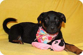 Rottweiler Mix Puppy for adoption in Trenton, New Jersey - Greta
