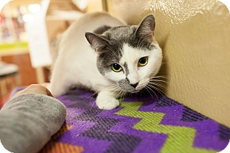 Domestic Shorthair Kitten for adoption in Statesville, North Carolina - Victoria