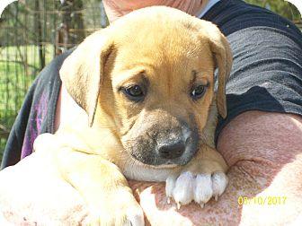 Border Collie/Anatolian Shepherd Mix Puppy for adoption in Mexia, Texas - Breezie