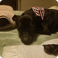 Adopt A Pet :: Fallon - Goodyear, AZ