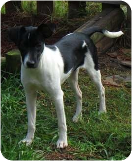 Rat Terrier Mix Puppy for adoption in Jacksonville, Florida - Spunky