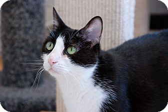 Domestic Shorthair Cat for adoption in Chicago, Illinois - Chevelle