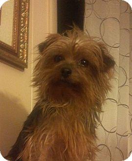 Yorkie, Yorkshire Terrier Dog for adoption in Hazard, Kentucky - Trixie