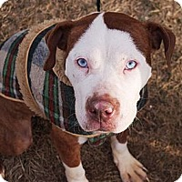 Adopt A Pet :: Amaryllis - Reisterstown, MD
