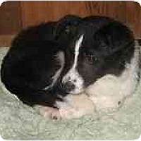 Adopt A Pet :: BC pups!!! - Seattle, WA
