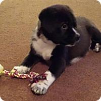 Adopt A Pet :: Panda Bear - Marlton, NJ