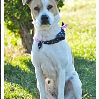 Labrador Retriever/American Pit Bull Terrier Mix Dog for adoption in Mechanicsburg, Pennsylvania - Rosie