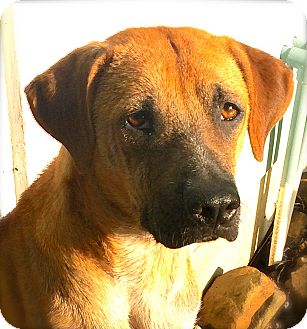 Greyhound Mix Dog for adoption in Austin, Texas - Donia