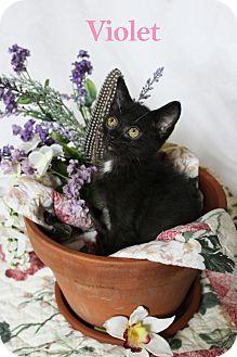 Domestic Shorthair Kitten for adoption in Charlotte, North Carolina - Violet
