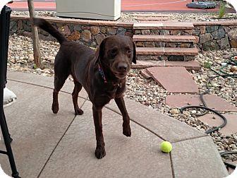 Labrador Retriever Mix Dog for adoption in Evergreen, Colorado - Odell
