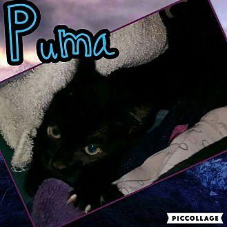 Domestic Shorthair Kitten for adoption in Scottsdale, Arizona - Puma