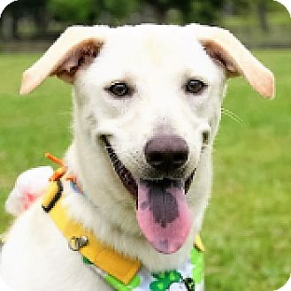 Labrador Retriever Mix Dog for adoption in San Francisco, California - Petty