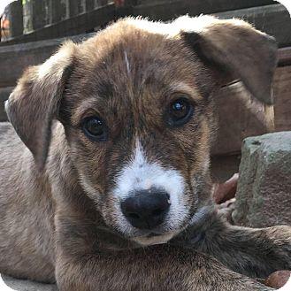 Shepherd (Unknown Type) Mix Puppy for adoption in CUMMING, Georgia - Baxter