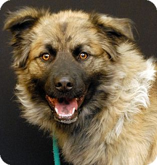 Chow Chow/Labrador Retriever Mix Dog for adoption in Newland, North Carolina - Courage