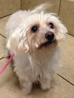 Maltese Dog for adoption in Chattanooga, Tennessee - Lizzie (TN)