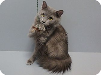 Domestic Longhair Cat for adoption in Seguin, Texas - Juno