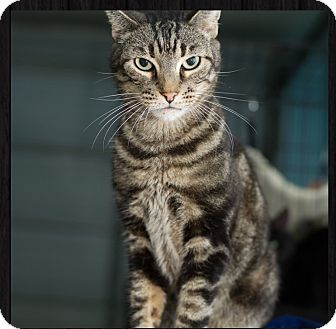 Domestic Shorthair Cat for adoption in Fallbrook, California - Dweazel