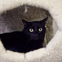 Domestic Shorthair Cat for adoption in Midway City, California - Bonni