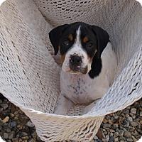 Adopt A Pet :: Ollie - Southington, CT