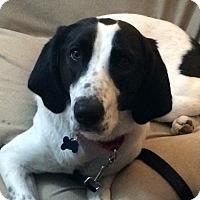 Adopt A Pet :: Kari - in Maine - kennebunkport, ME