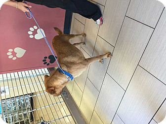 Vizsla/Labrador Retriever Mix Puppy for adoption in Mesquite, Texas - Billy
