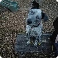 Cattle Dog/Spaniel (Unknown Type) Mix Dog for adoption in Von Ormy, Texas - Bessie