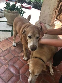 Labrador Retriever/Golden Retriever Mix Dog for adoption in Oviedo, Florida - Gator