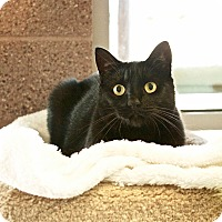 Domestic Shorthair Cat for adoption in Coronado, California - Miney