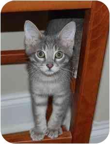 Domestic Shorthair Cat for adoption in Woodstock, Georgia - Edward