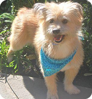 Cairn Terrier Mix Dog for adoption in Norwalk, Connecticut - Dawson