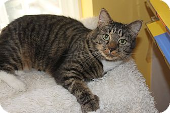 Domestic Shorthair Cat for adoption in Richmond, Virginia - Becca