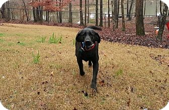 Labrador Retriever Dog for adoption in Knoxville, Tennessee - Maggie