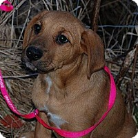 Adopt A Pet :: Toffee - Milford, CT
