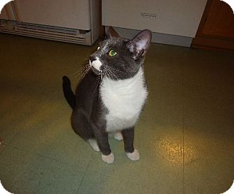 Domestic Shorthair Cat for adoption in Dale City, Virginia - Artie (Artemis)