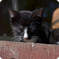 Adopt A Pet :: Widmark - Brooklyn, NY